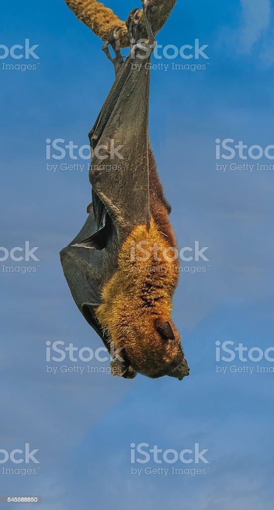 Flying fox (Fox bat) resting stock photo