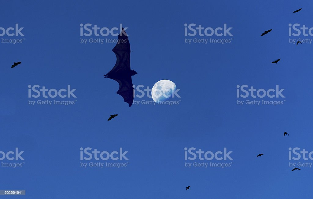 Flying Foxes and the Moon stock photo