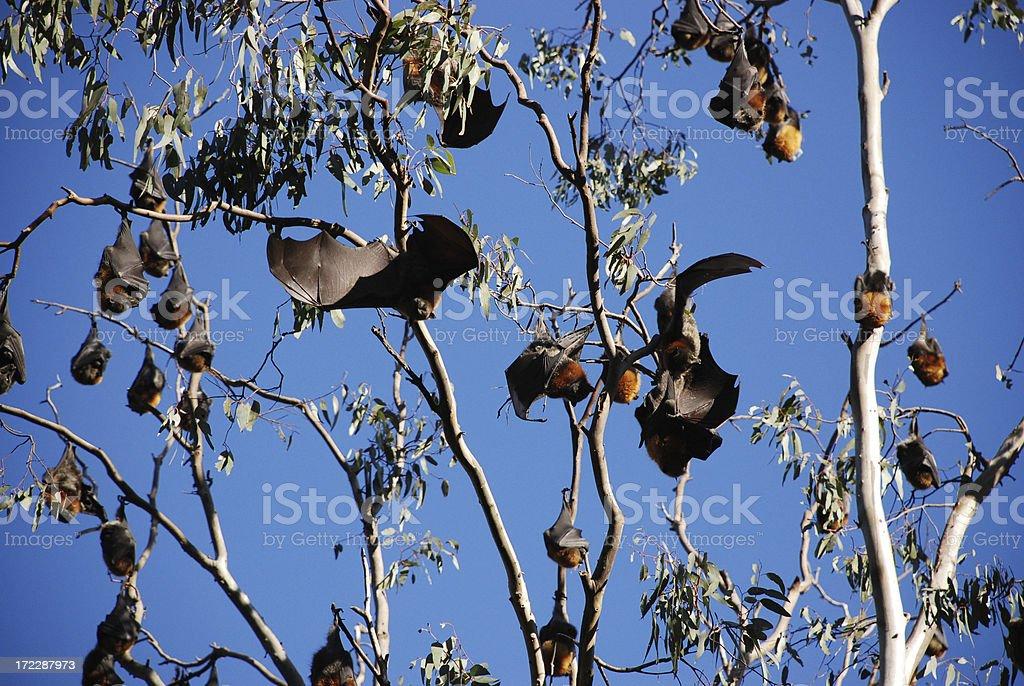 Flying Foxes en el río Yarra River in Melbourne foto de stock libre de derechos