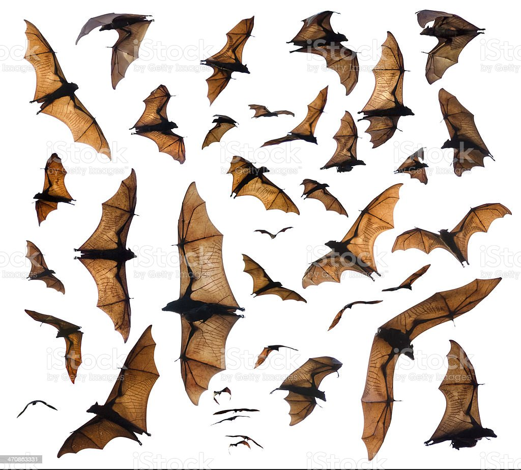 Flying foxes stock photo