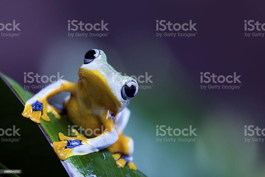 Flying Frog, Rhacophorus reinwardtii stock photo
