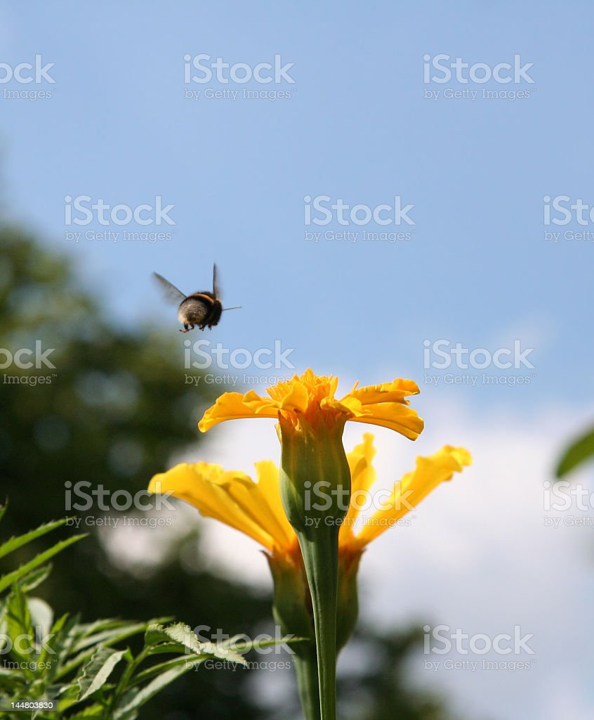 Flying gadfly royalty-free stock photo