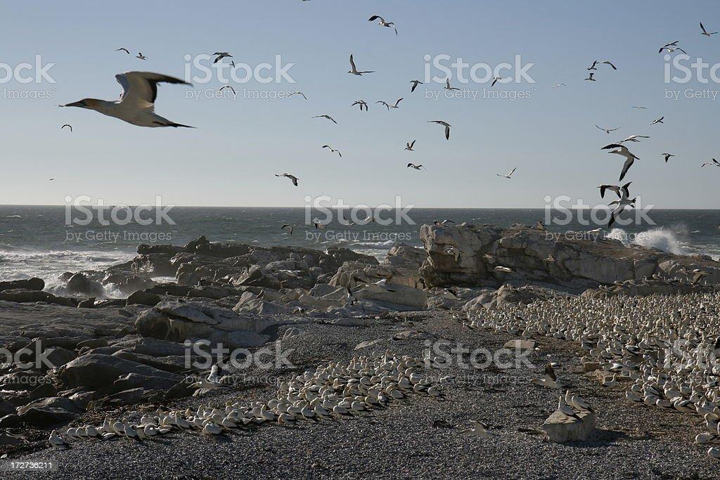 flying gannets stock photo