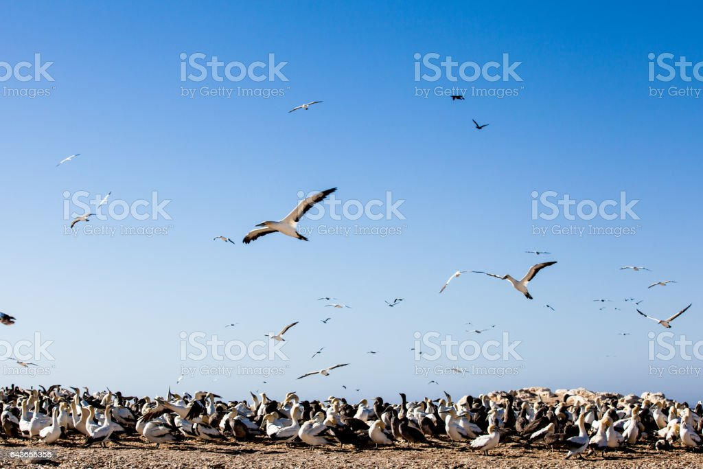 Flying gannets, seabird breeding colony, Lambert's Bay, South Africa stock photo