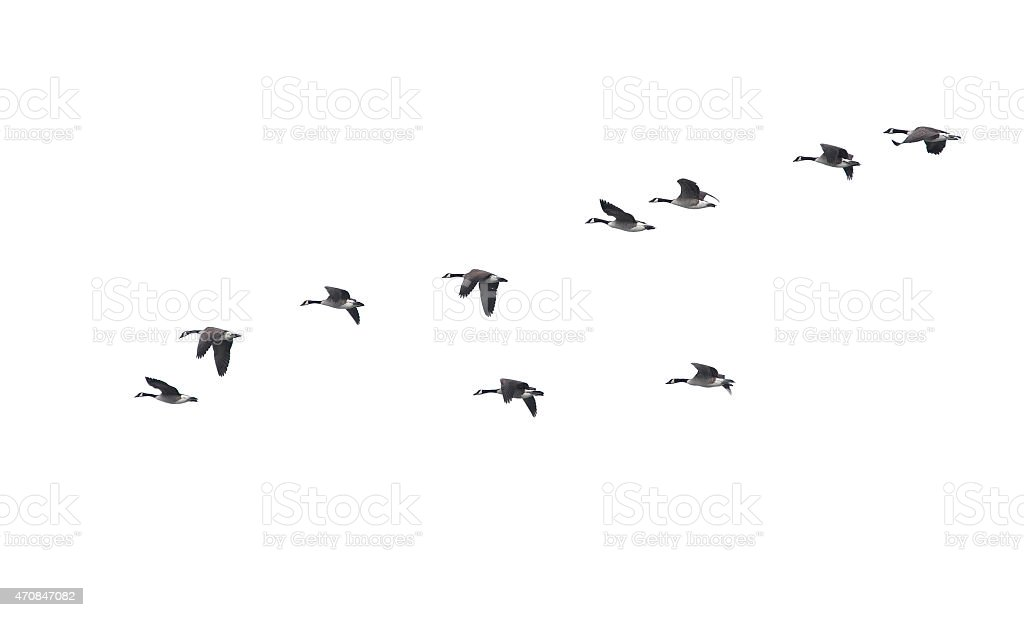 Flying geese in v shape isolated on white background stock photo
