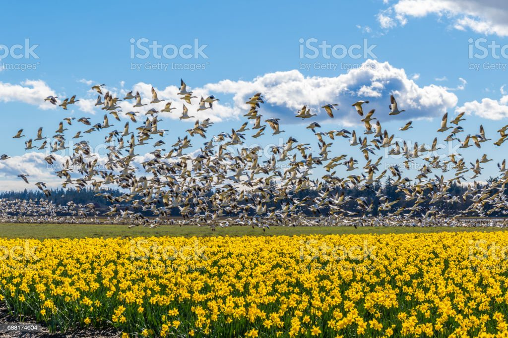 Flying geese on the field of daffodils. stock photo