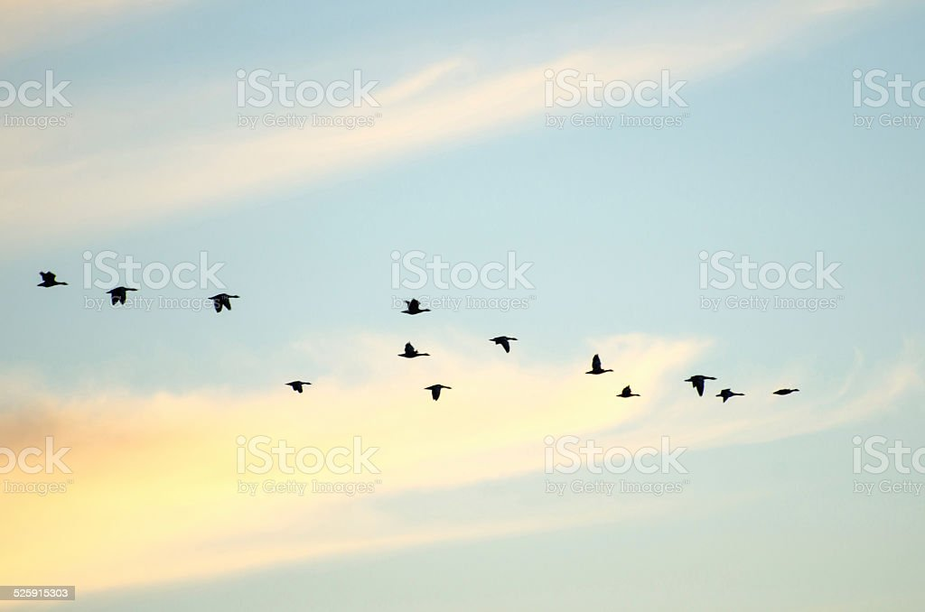 Flying geese silhouettes stock photo