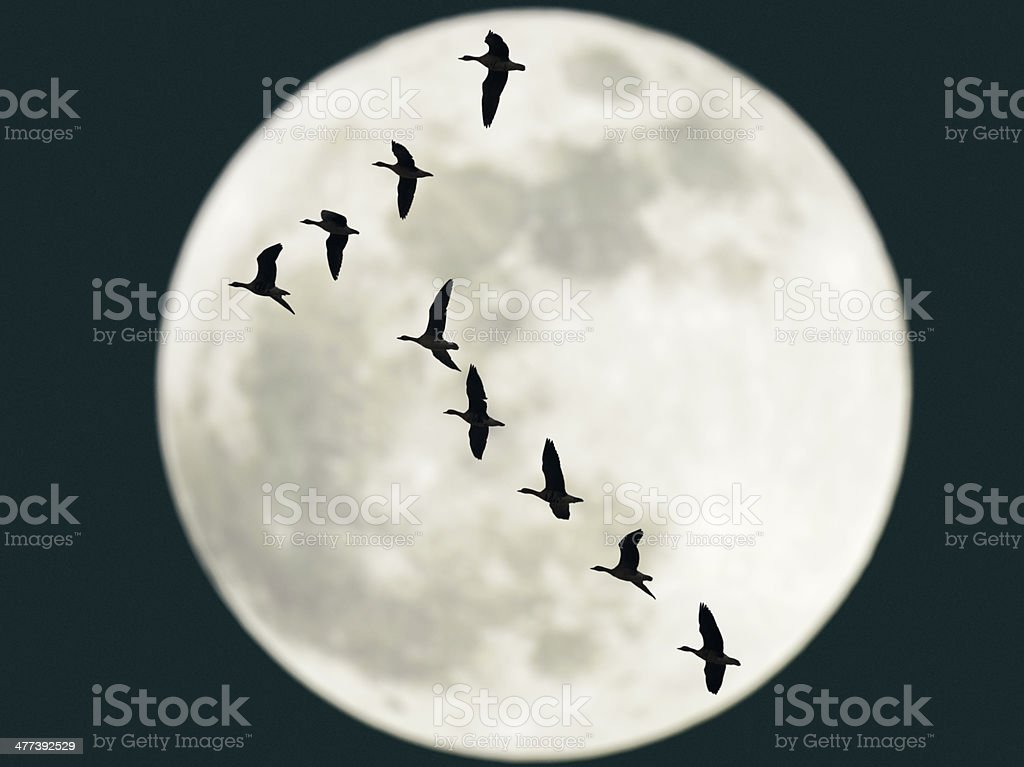 Flying geese with full moon stock photo