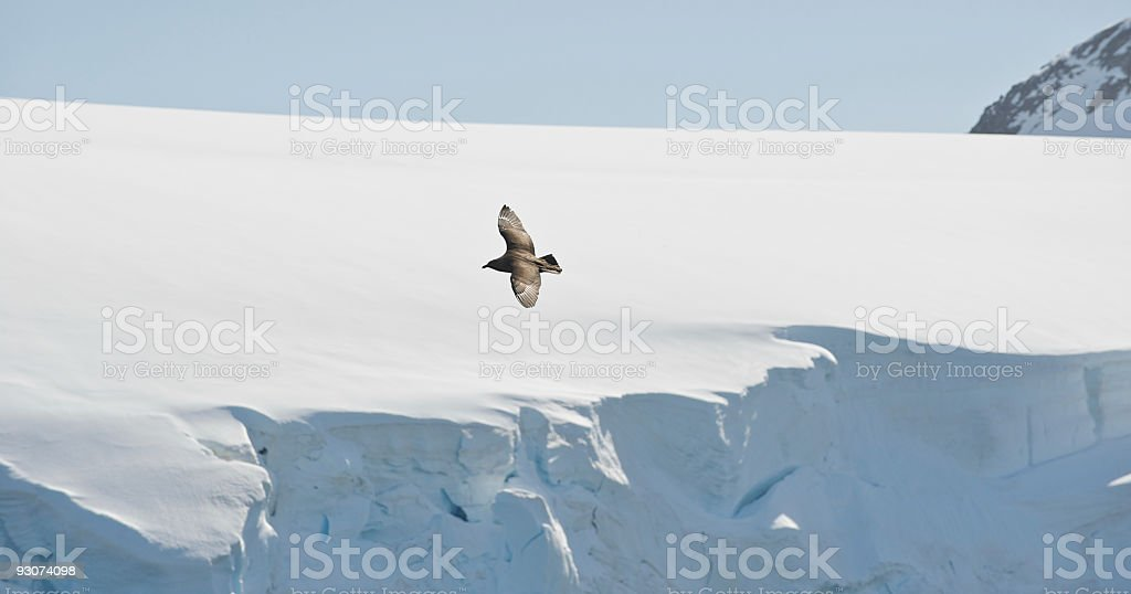 Flying Giant Petrel in Mountain Ranges of Antarctica stock photo