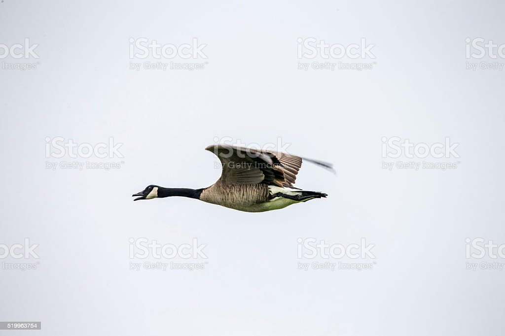 Flying Goose at Point Reyes National Seashore, California stock photo
