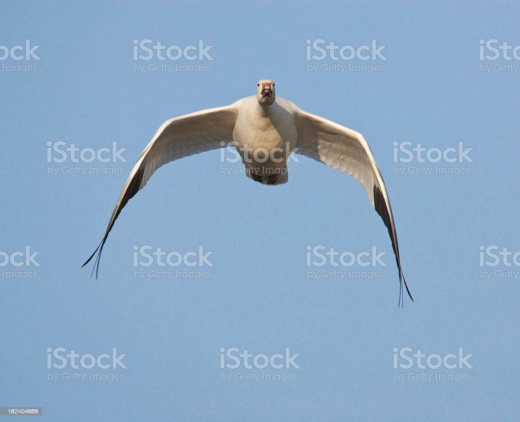 Flying Goose royalty-free stock photo