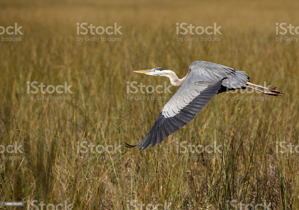 Flying Great Blue Heron in Everglades royalty-free stock photo