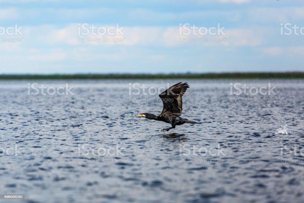Flying great cormorant stock photo