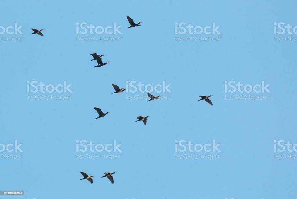 Flying great cormorants (Phalacrocorax carbo) stock photo