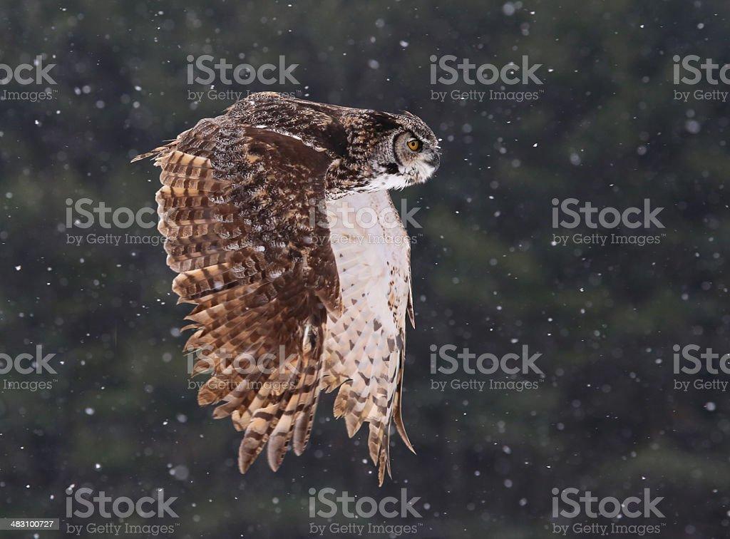 Flying Great Horned Owl stock photo