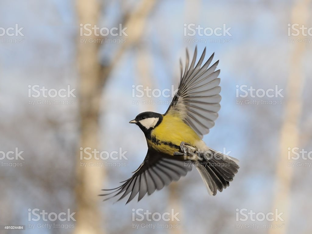 Flying Great Tit against autumn background stock photo