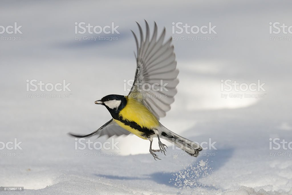 Flying Great Tit with a seed above the snowdrift stock photo