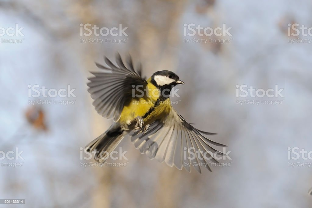Flying Great Tit with open wings stock photo