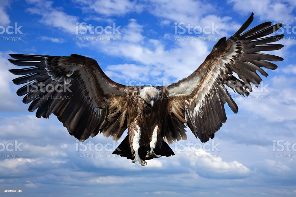 Flying griffin stock photo