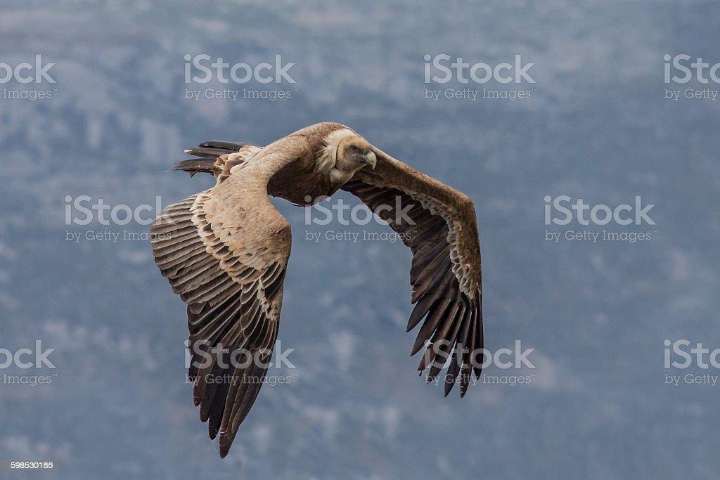 Flying Griffin (Gyps fulvus), Verdon Gorge, France stock photo