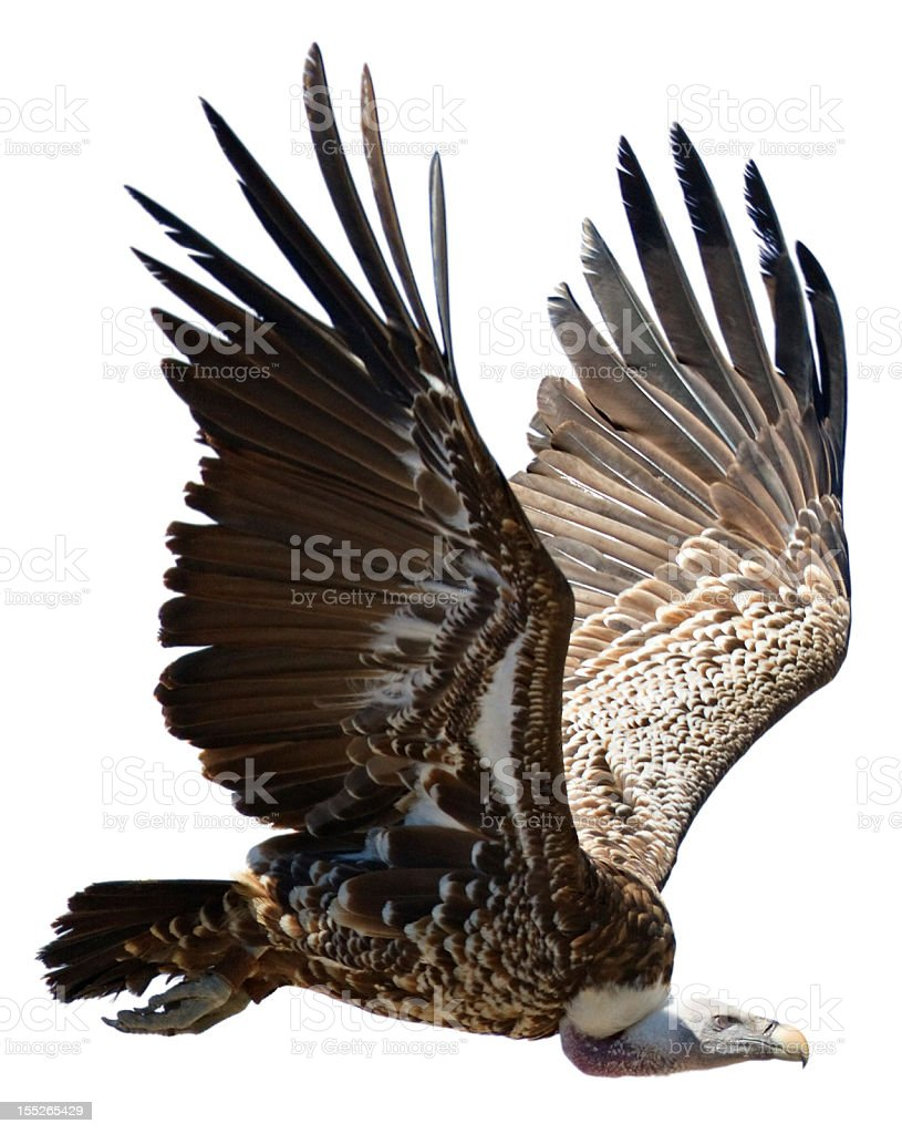 Flying Griffon on white background stock photo