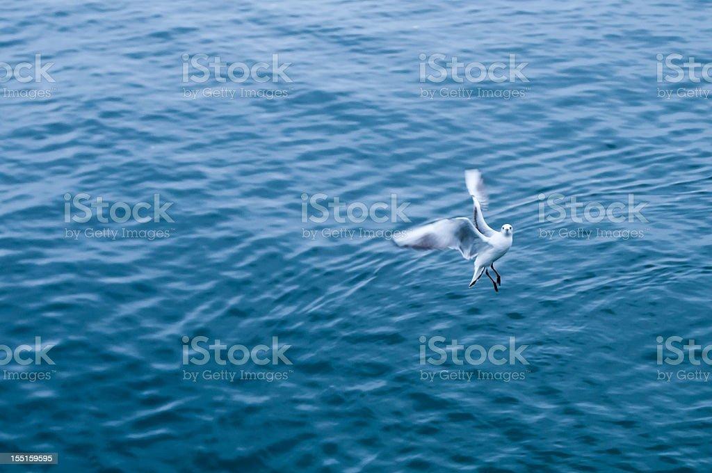 flying gull looking at camera stock photo