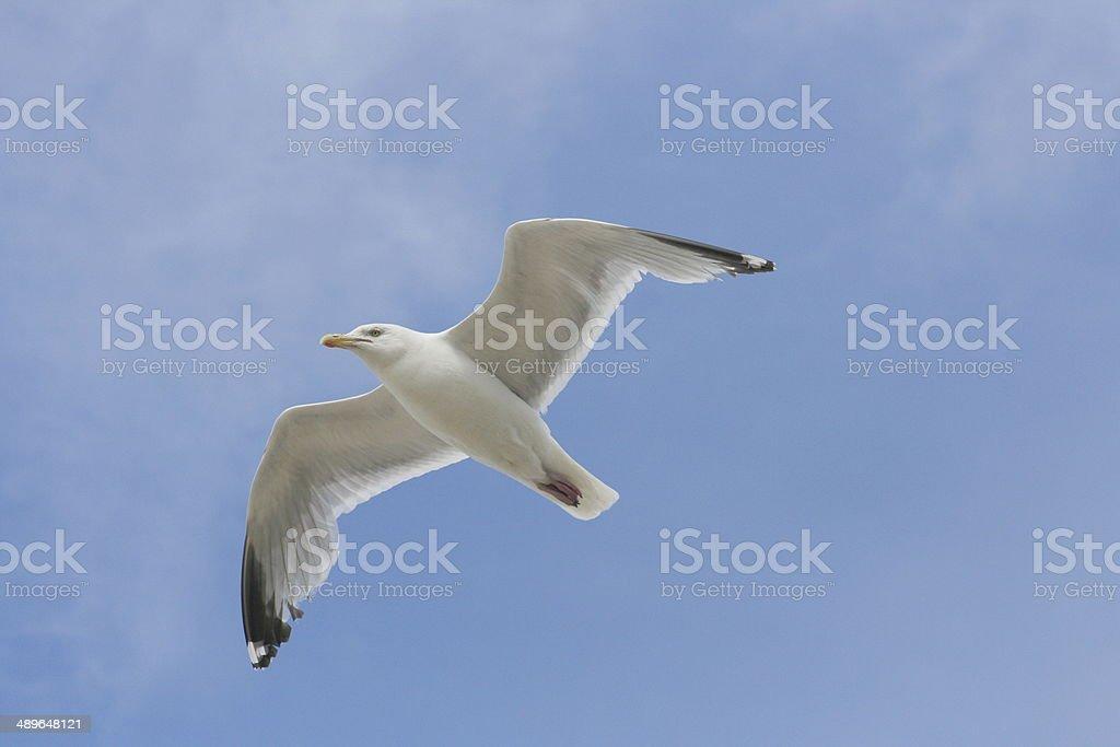 flying gull  (Larus argentatus) stock photo