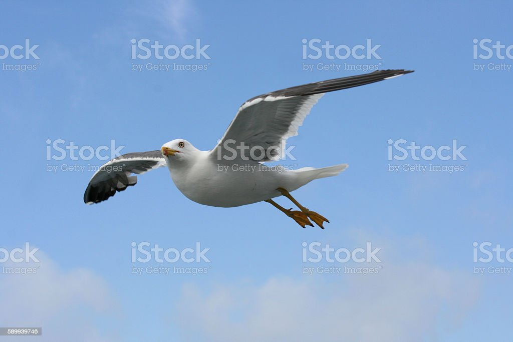 flying gull  (Larus argentatus) stock photo