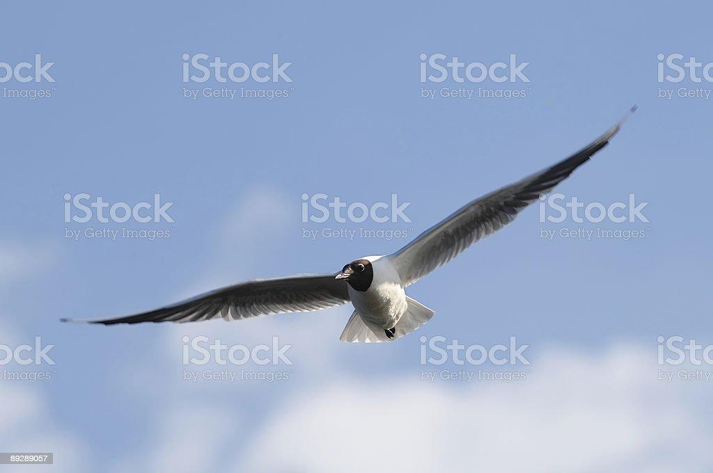 Flying Gull royalty-free stock photo
