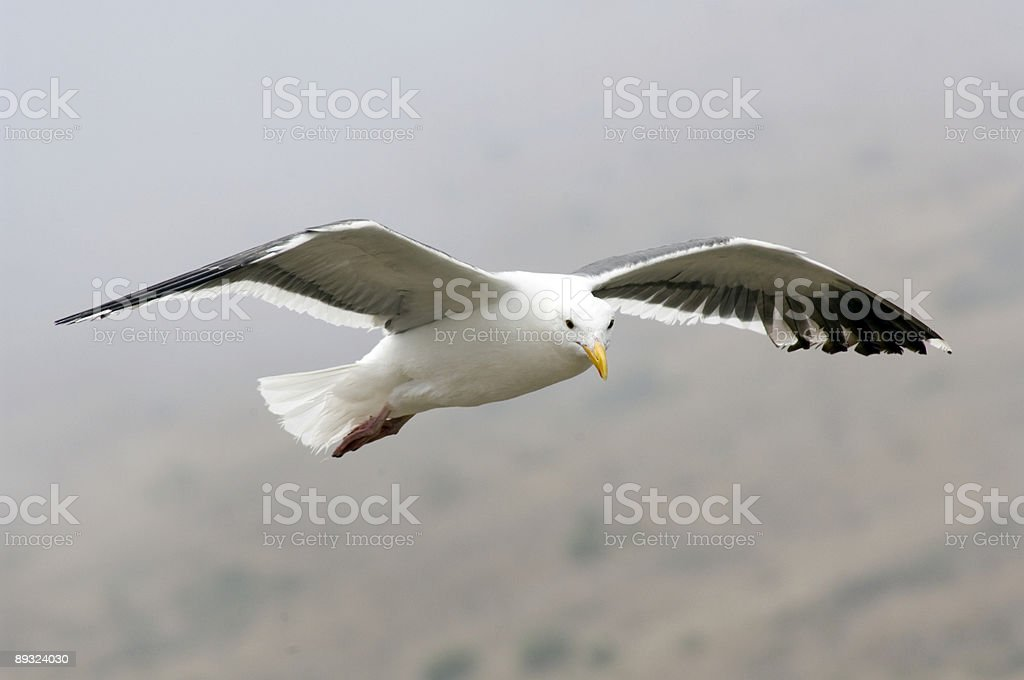Flying Gull royalty-free stock photo
