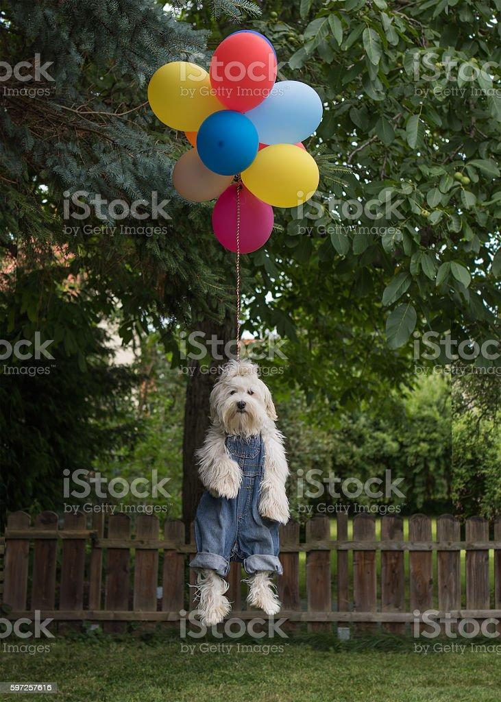 flying havanese dog stock photo
