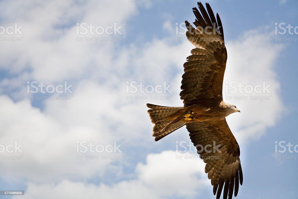 Flying hawk from below stock photo