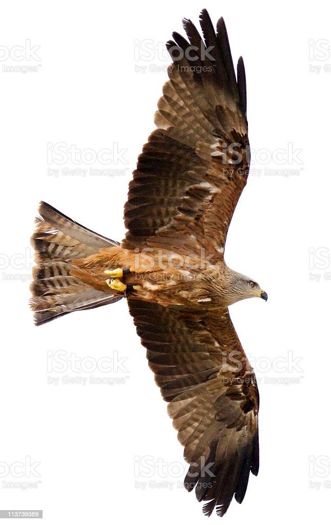 Flying hawk on white background stock photo