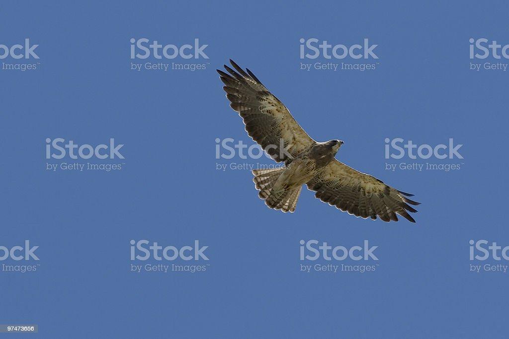 Flying Hawk royalty-free stock photo