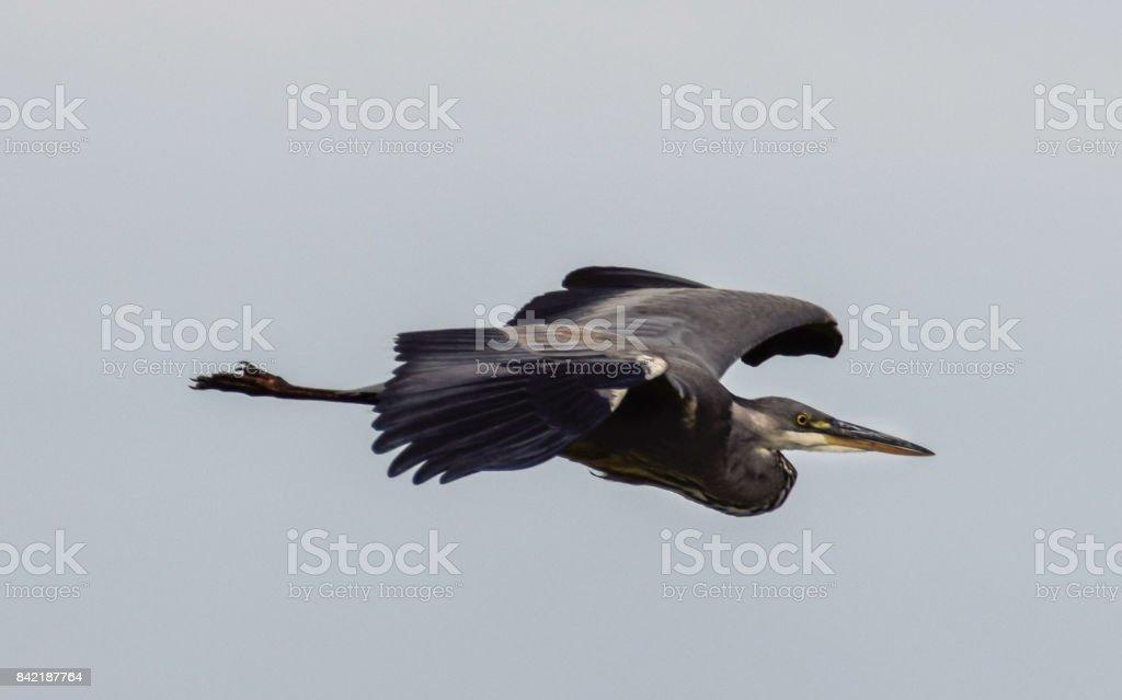 Flying heron stock photo