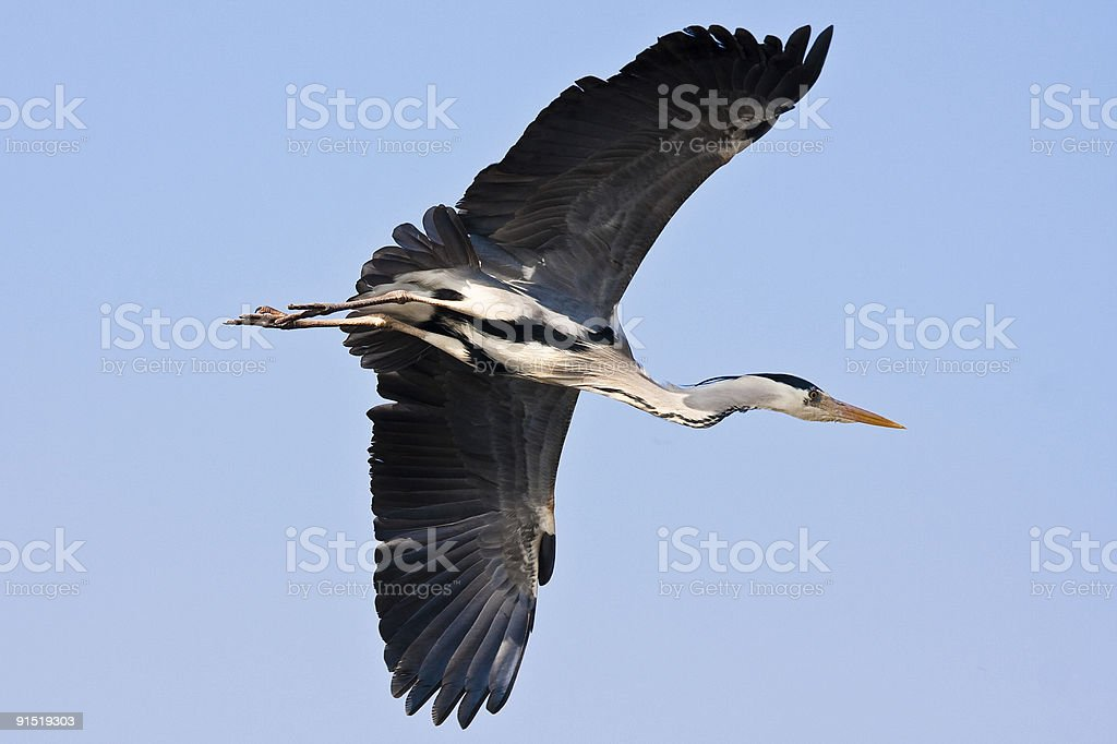 Flying heron royalty-free stock photo