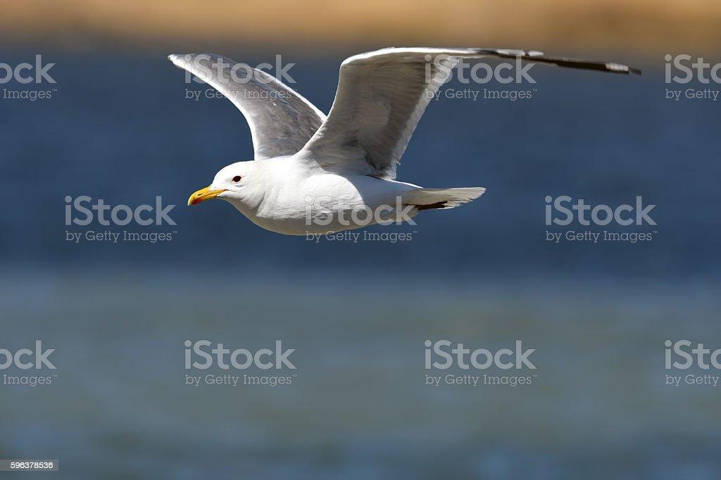 Flying Herring gull wings up stock photo