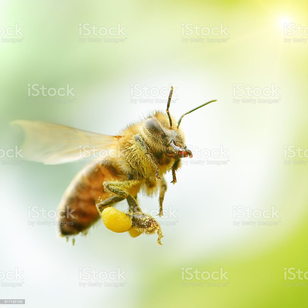 flying honey bee in sunlight stock photo