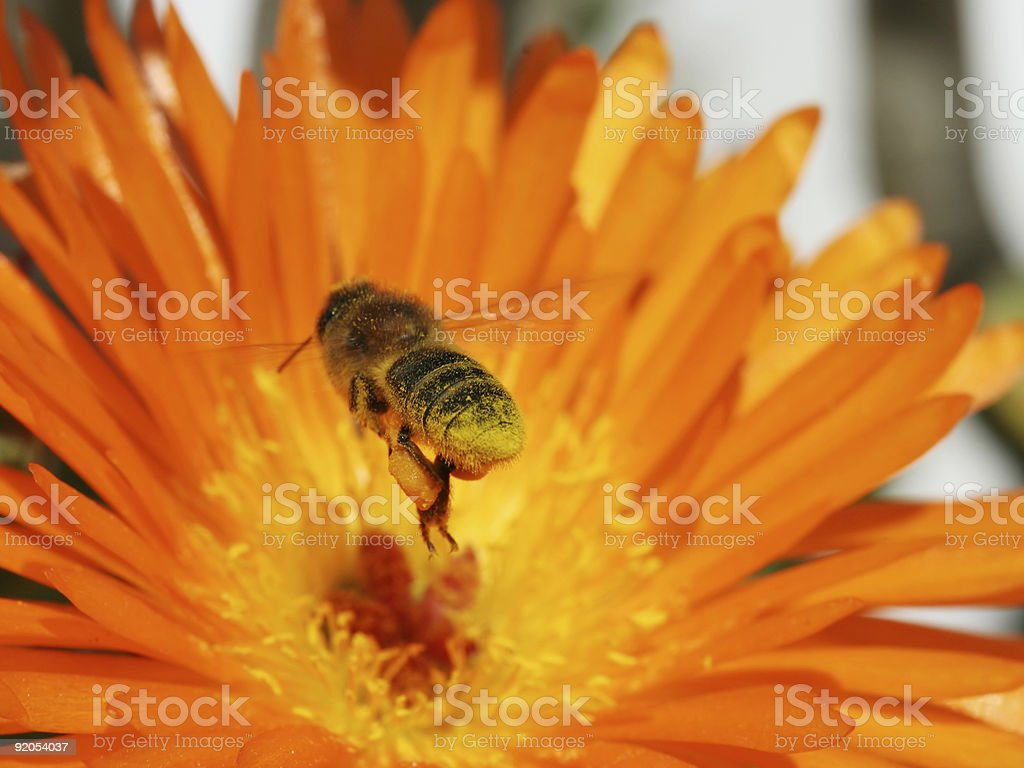 Flying honeybee 3 stock photo