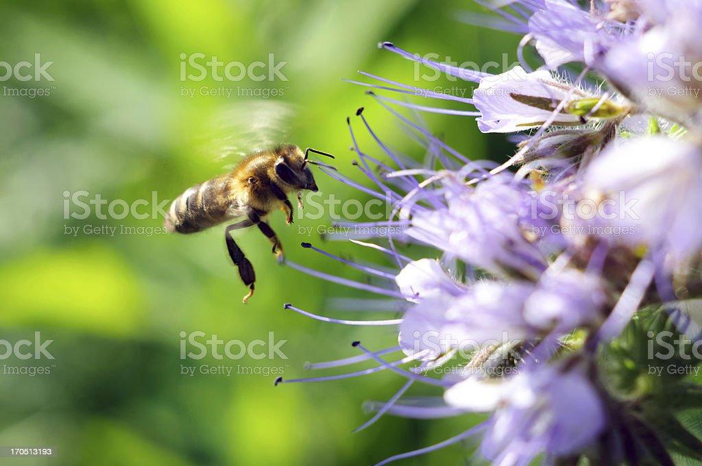 Flying honeybee near the flower royalty-free stock photo