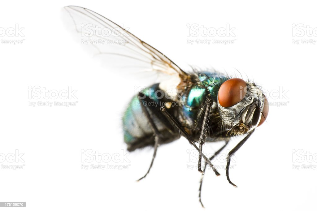 flying house fly in extreme close up stock photo
