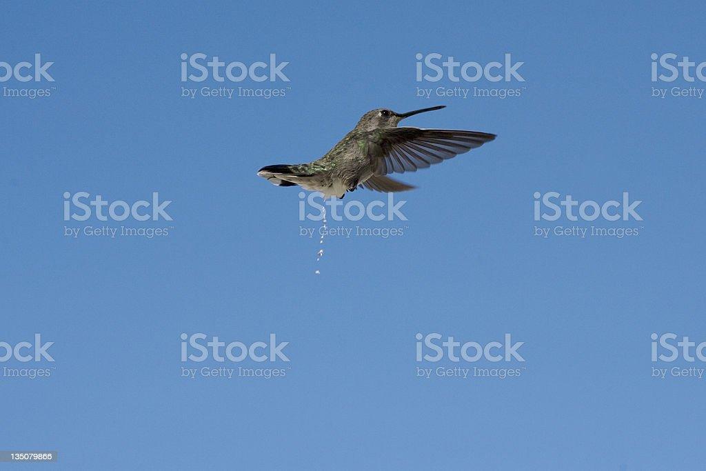 Vol Colibri à Palm Springs, Californie photo libre de droits