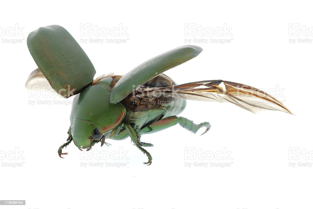 flying insect green beetle royalty-free stock photo