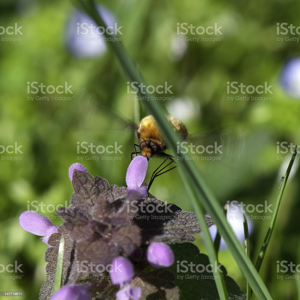 Flying Insect royalty-free stock photo