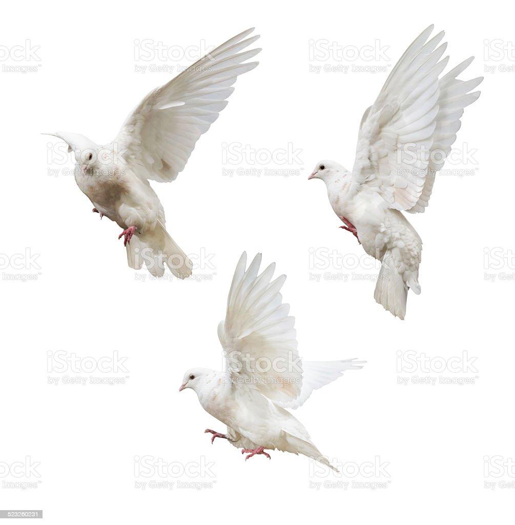 flying isolated three light pigeons stock photo
