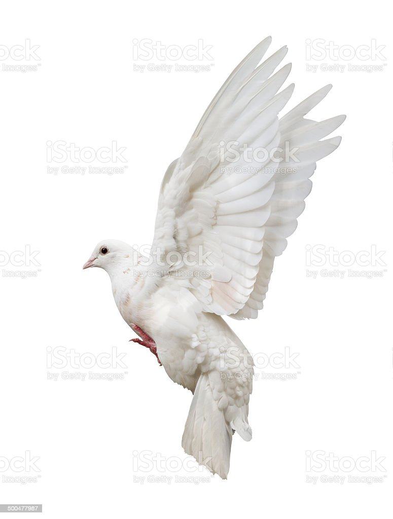 flying isolated white pigeon stock photo