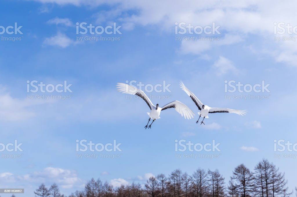 Flying Japanese Cranes, Hokkaido, Japan stock photo