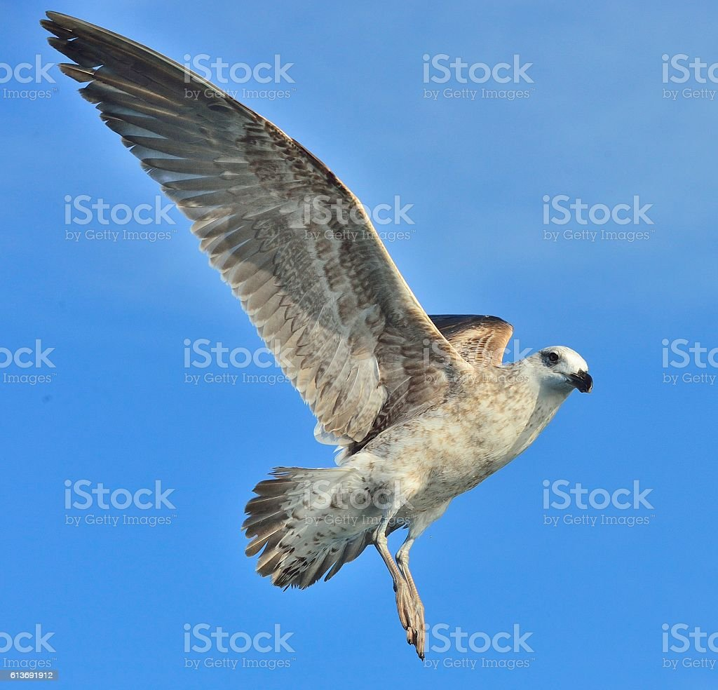 Flying Juvenile Kelp gull , also known as the Dominican gull and...