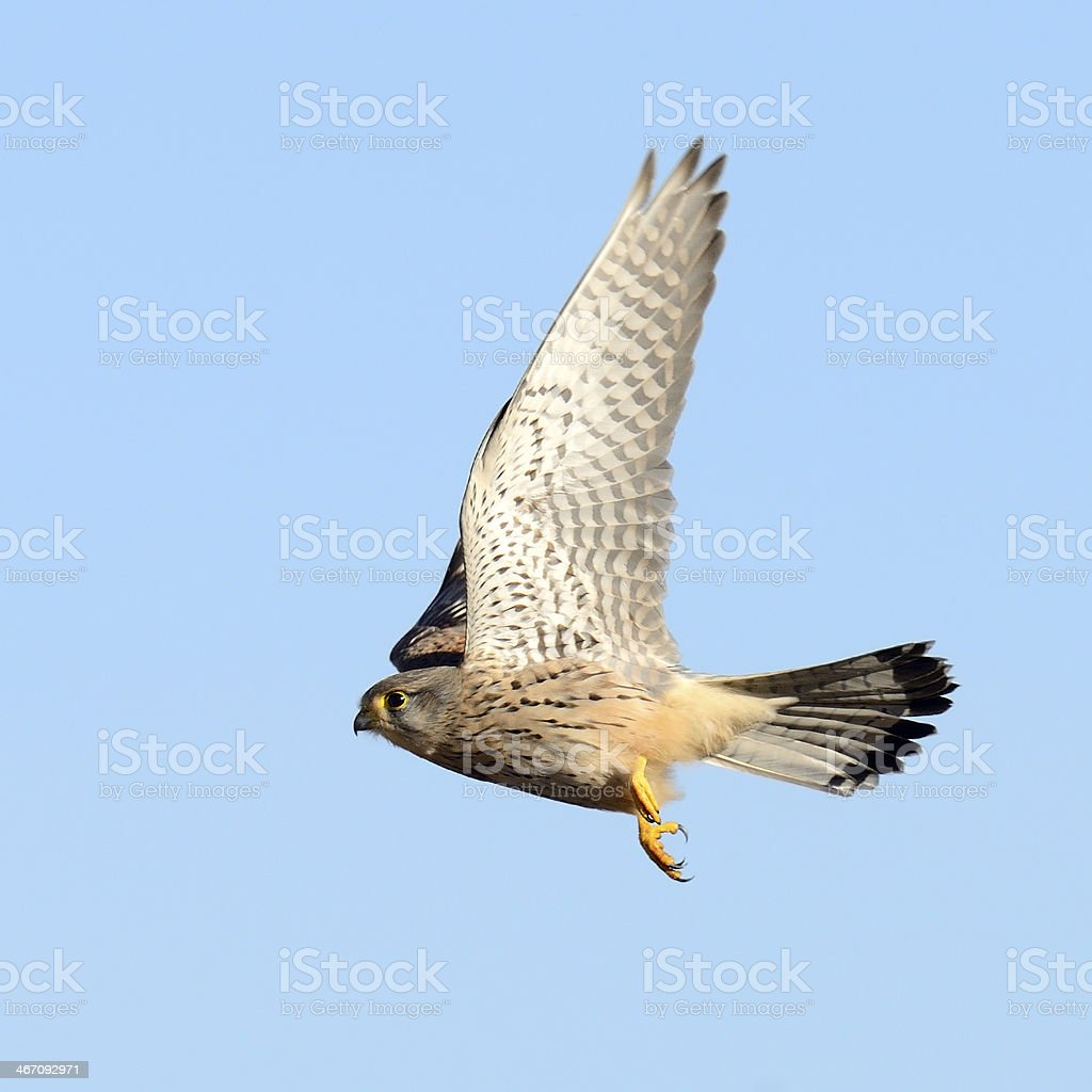Flying Kestrel stock photo