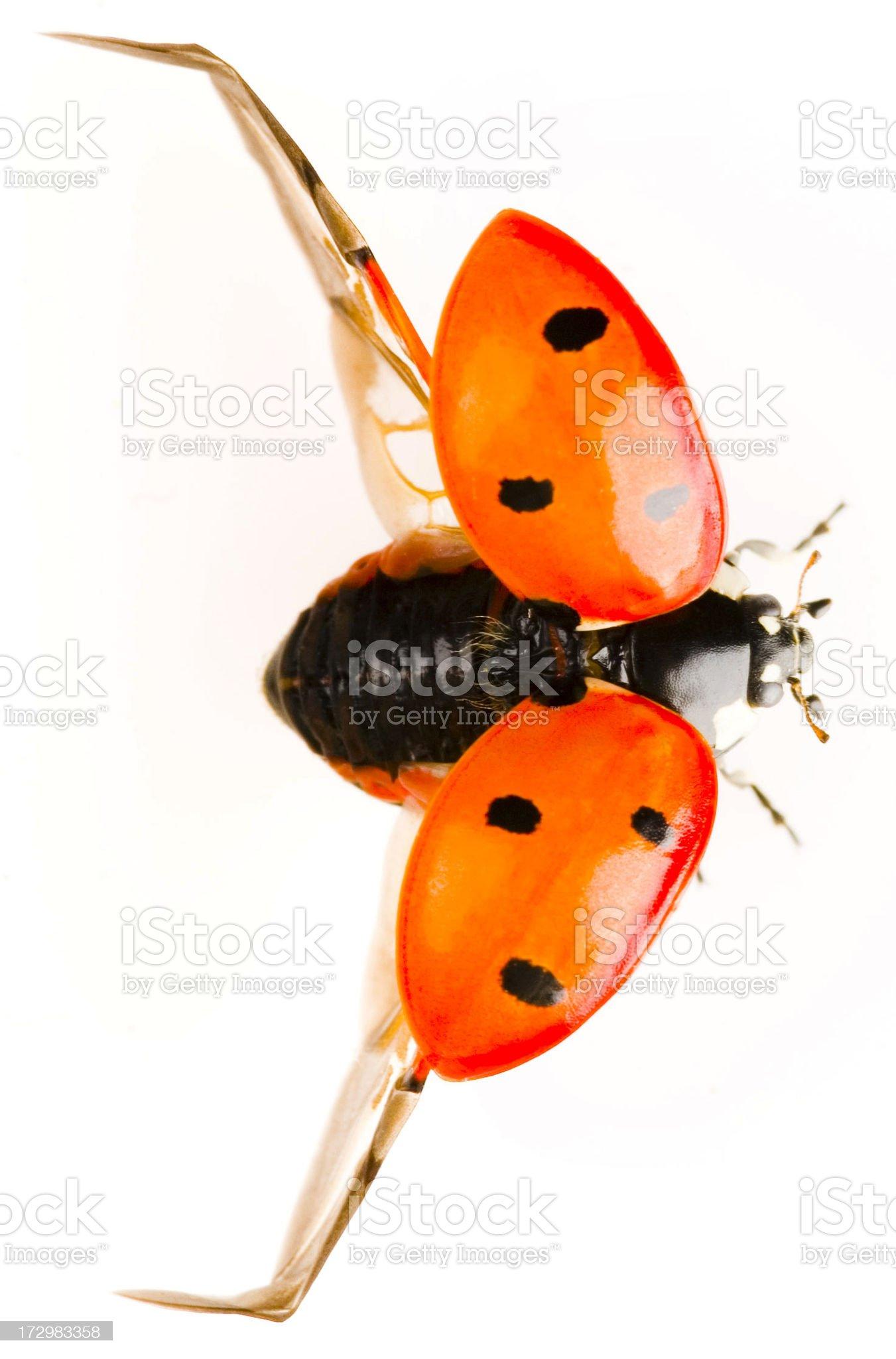flying ladybug royalty-free stock photo